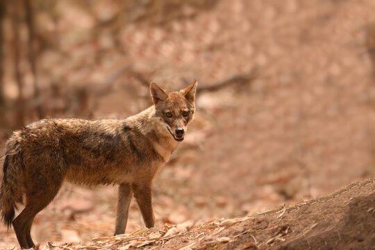 Golden jackal is alerted and standing at Bandhavgarh National Park