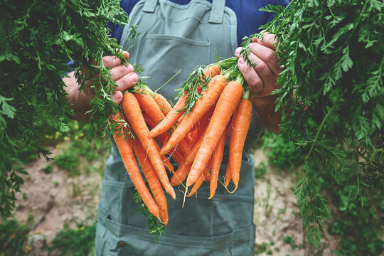 Ripe Natural Organic Freshly Picked Carrots In The Hands Of Farmer. Harvest Country Village.