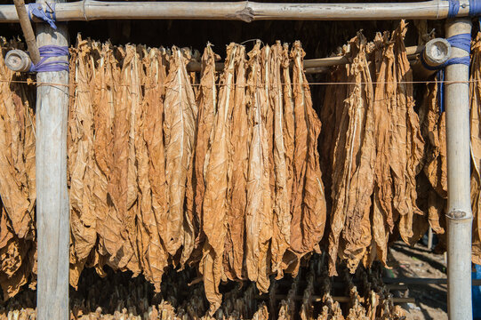 Tobacco Dry Leaf In Store