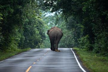 Obraz Wild Asian Elephant walking, lay down on the ground, relaxing on the grass flield. Khao Yai Nature Park, Thailand. wild aminal - fototapety do salonu