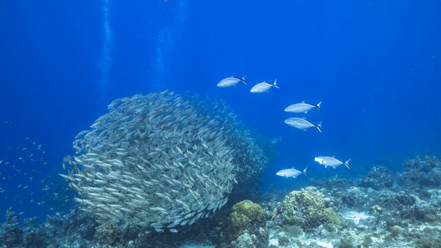 Bait ball, school of fish in the turquoise water of coral reef in Caribbean Sea, Curacao