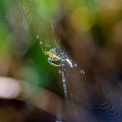 pająk tygrzyk (Argiope bruennichi) w pajęczynie
