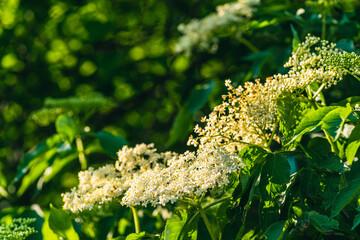 kwiaty bzu czarnego (Sambucus nigra)