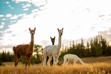 Young family of alpacas on a field during the golden hour.