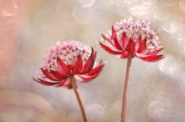 Fototapeta Kwiaty Astrantia- Jarzmianka