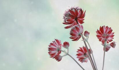 Obraz Kwiaty Astrantia-Jarzmianka