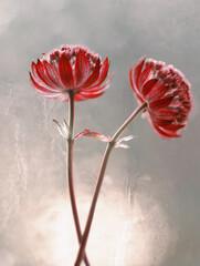 Obraz Kwiaty Astrantia- Jarzmianka