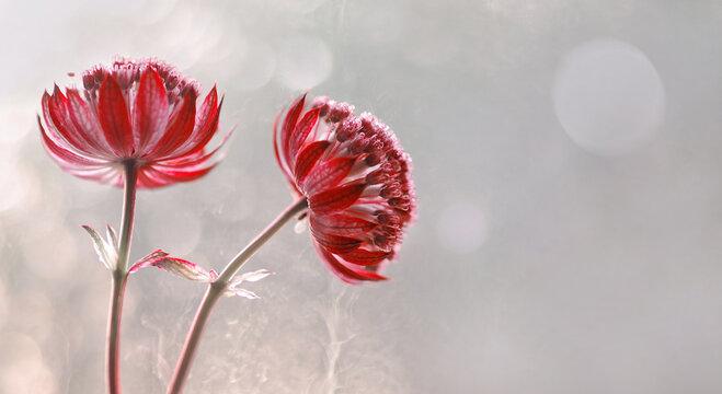 """Kwiaty Astrantia- Jarzmianka """"Star of fire"""" Wolna przestrzeń"""