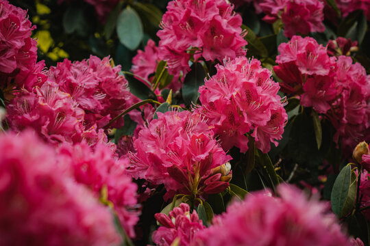 A grouping of magenta flowers blooming in Tatton Park.