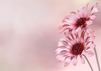 Obraz Kwiaty Osteospermum -Afrykańska stokrotka. Wolna przestrzeń - fototapety do salonu