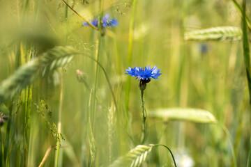 Obraz kwiat chabru na łące  - fototapety do salonu