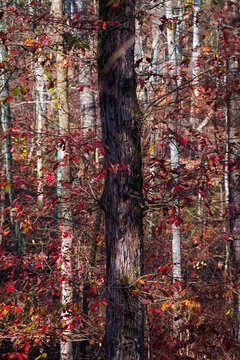 Tree with vibrant red leaves on the branches in the Chattahoochee National Forest mountains at Taylor's Ridge in North Georgia