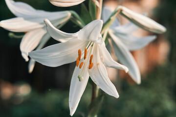 Obraz Closeup shot of blooming Madonna Lily flowers - fototapety do salonu