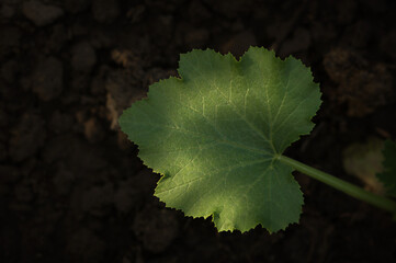 Small green of plant leaf growing on the black soil. Top view