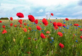 Fototapeta czerwony mak, maki, łąka, polana, niebo, kwiatki, krajobraz, widok, kwiaty polne obraz