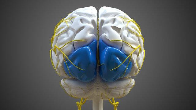 Brain occipital lobe Anatomy For Medical Concept 3D