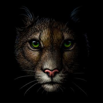 Cougar. Color portrait of a mountain lion on a black background. Digital vector graphics.