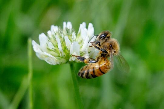 honeybee on clover flower