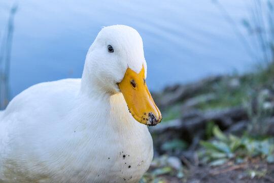 View of White Pekin ducks around a lake, Cape Town, South Africa