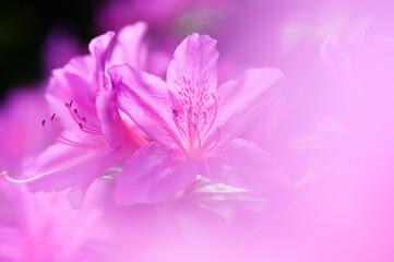 Close-up of pink azalea flowers