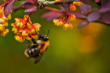 Obraz bumblebee - fototapety do salonu