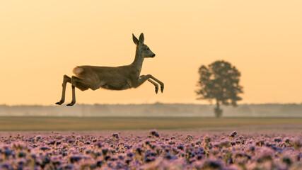 Fototapeta Sarna jeleń na łące w ruchu obraz