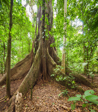 Trunk of a Ceiba tree in a tropical rainforest in central Costa Rica