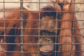 a monkey feeling loneliness and sadness behind jail. the eyes of a monkey as a result of being placed in a cage in the zoo