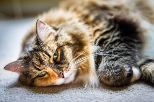 Closeup face of fluffy cute sleepy calico maine coon cat face lying down on carpet floor in bedroom or living room with curled paw looking with green eyes