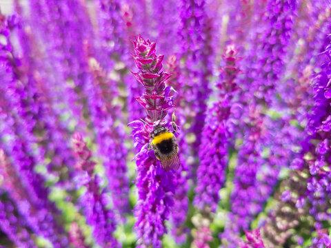 Balkan clary also woodland sage (in german Hain-Salbei also Steppen-Salbei) Salvia nemorosa bumblebee