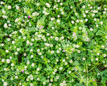 Spring green grass with clovers nature background