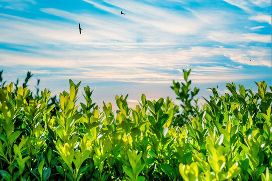 Green plants and blue sky with white clouds at summer
