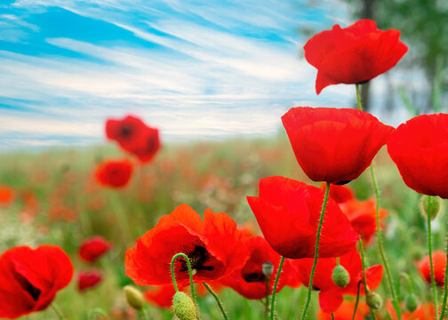 Red poppies field against a blue sky