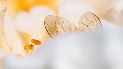 Obraz Makro pszczoły na wiosennym kwiatku. Pszczoły przy pracy w dużym zbliżeniu - fototapety do salonu