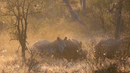 a crash of white rhinos in golden light