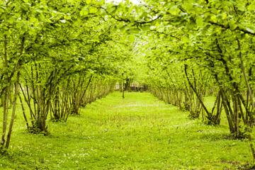 Beautiful view of hazelnut trees plantation landscape