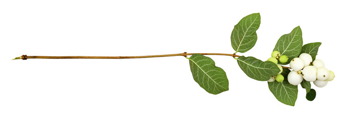 Fototapeta Snowberries (Symphoricarpos albus) with green leaves isolated obraz