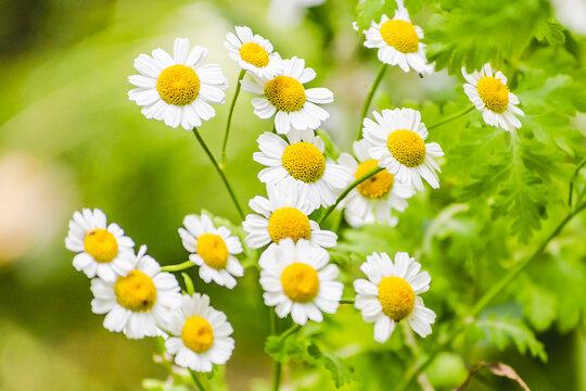 fleurs de Camomilles en été
