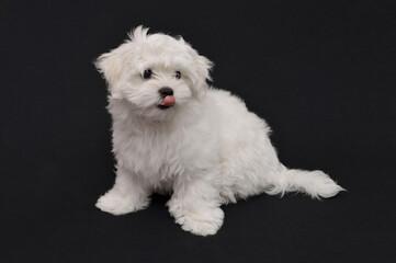 Obraz Pies Maltańczyk - fototapety do salonu