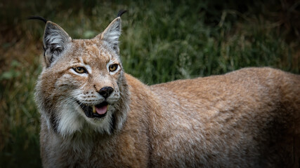 Wildlife animal background - Beautiful lynx in the forest