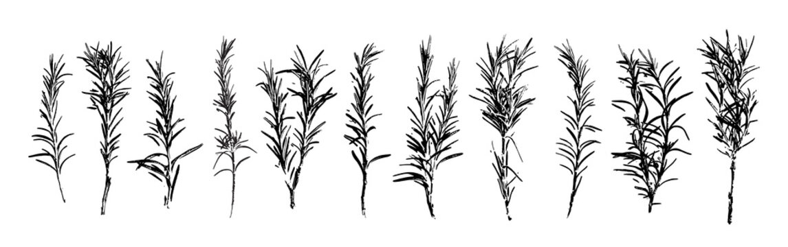 Rosemary grunge set. Rosemary herb abstract collection. Herbal plant. Gardening, culinary and aromatherapy.