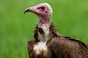 Obraz Kapgier, Hooded Vulture, Necrosyrtes monachus - fototapety do salonu