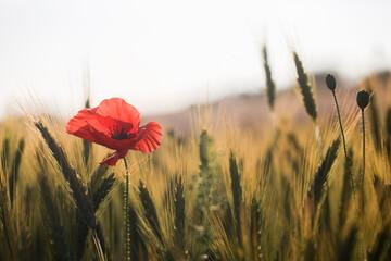 Obraz kwiat maku na polu pszenicy - fototapety do salonu