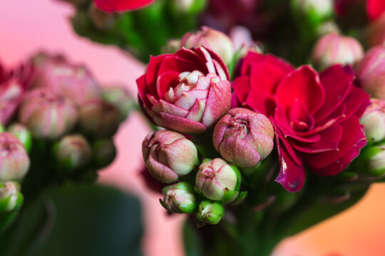 Blüte des Flammenden Käthchens im Makro.