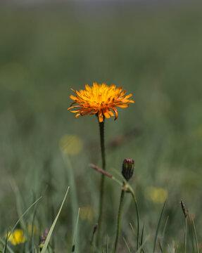 Orangefarbige Pippau Blume.