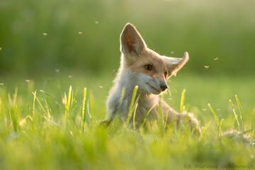 Obraz Młody lis na łące odganiający komary po południu - fototapety do salonu