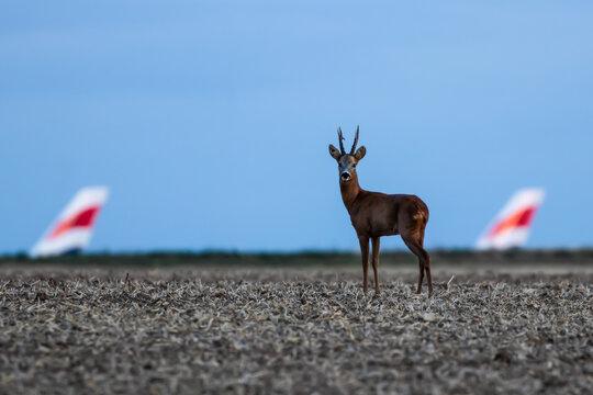 Deer at the airport