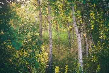 Fototapeta Wschód słońca w gęstym zagajniku brzozowym obraz