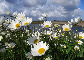 Madeliefjes op Texel; English Daisy on Texel, Netherlands
