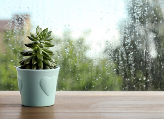 Fototapeta Potted succulent near window on rainy day. Space for text obraz